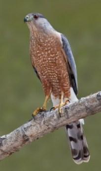 Cooper's Hawk by David Powell