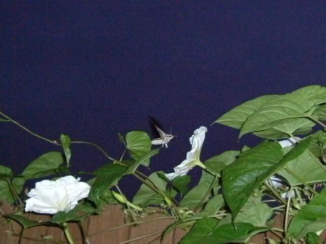 Moth at Moonflower Vine