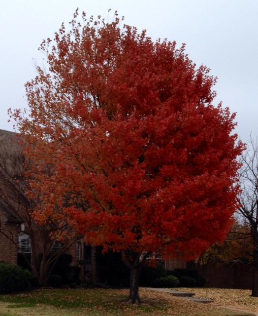 brilliant red tree