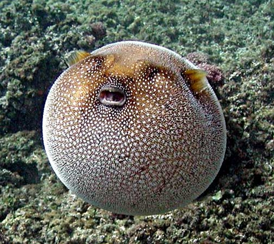 really fat puffer