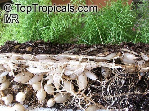 Asparagus Fern Root System