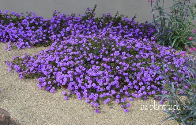 Trailing Lantana pic compliments of az plant lady