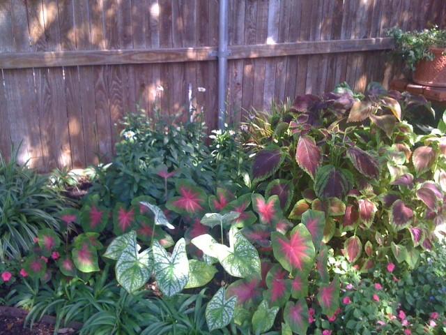 Mexican Petunias, Caladiums, Coleus, Impatiens and Shasta Daisies