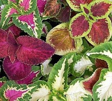 The Many Colors of Coleus