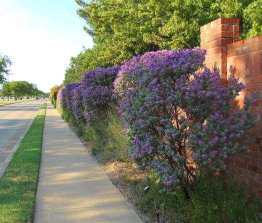 Texas Sage Hedge Along Neighborhood Screening Wall