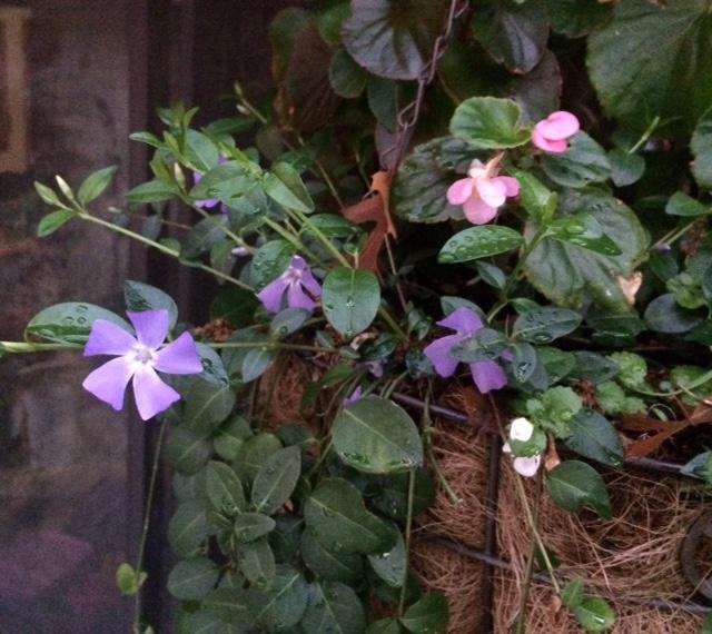 Vinca Minor in Basket of Begonias