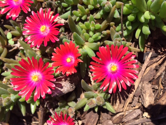 """Ice Plant Blooms with """"Crystallized"""" Stems"""