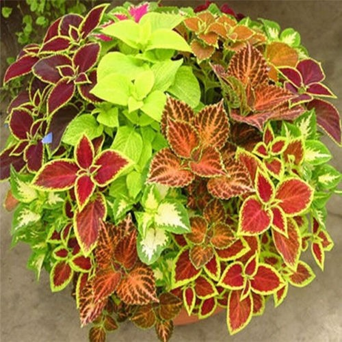 Coleus in Pot 2