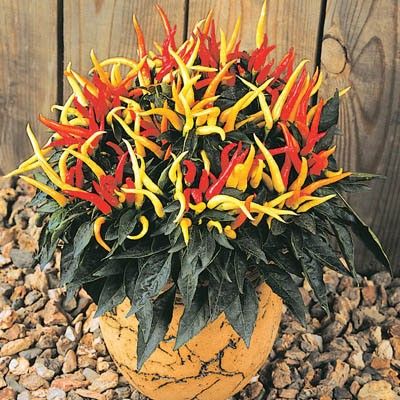 Ornamental Peppers in Pot