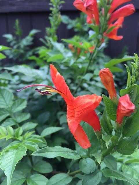 Tecomaria capensis bloom