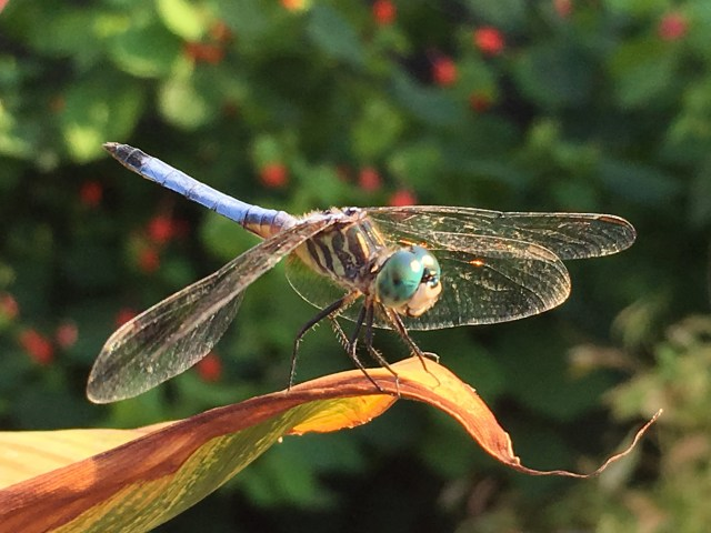 Turks Cap and Darner Dragonfly