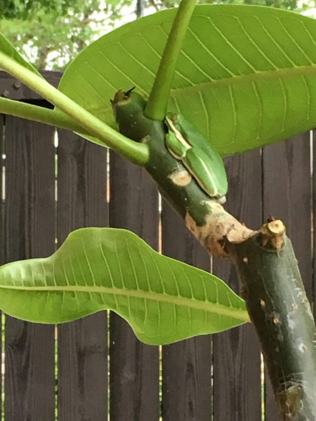 American Green Tree Frog on Plumeria