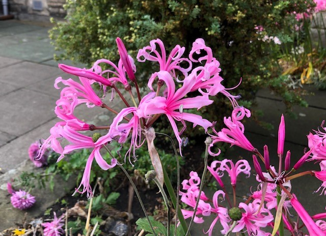 Nerine Lily, St. Andrews, Scotland Along the North Sea