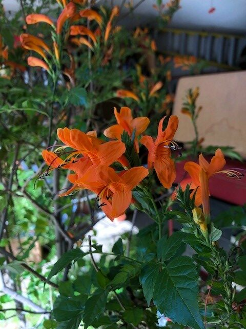 Tecomaria Overwintering and Blooming in Garage