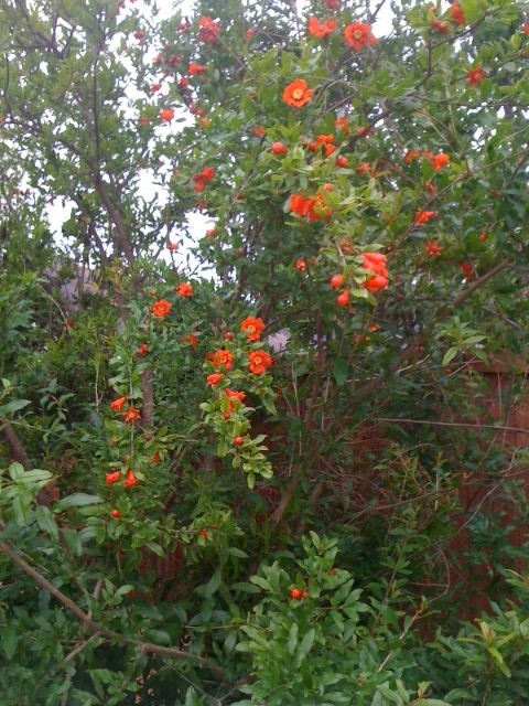 http://images.quickblogcast.com/5/5/5/9/7/288139-279555/PomegranateinBloom.jpg?a=40