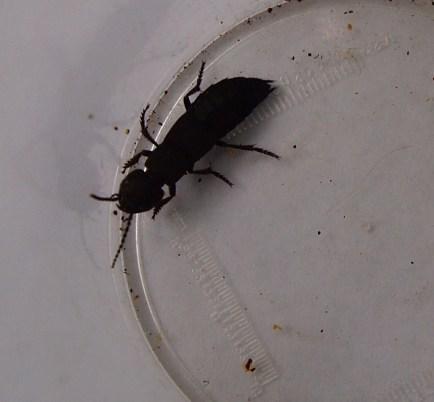 Devils' coach horse beetle