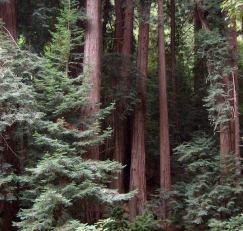 Muir Woods, John Muir, Redwoods, forest, beauty, peace, good tidings, quotations