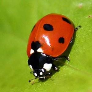 ladybugs, nature, children, outdoors, garden, pollinators, aphids