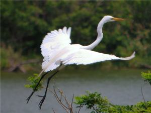 egret, flight, wing span, American River