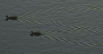 ducks, swim, Fair Oaks Bridge, Fair Oaks, water