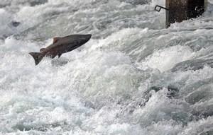 fishing, fisherman, Chinook Salmon, American River, American River Parkway, spawn, Nimbus Fish Hatchery, Nimbus Dam