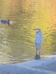 Great blue Heron, Fair Oaks Bridge, mornings,