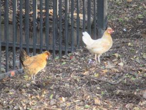 chickenpair2