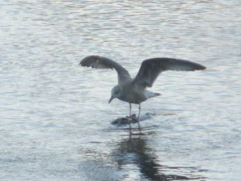 seagull, Chinook salmon, eating, American River, water
