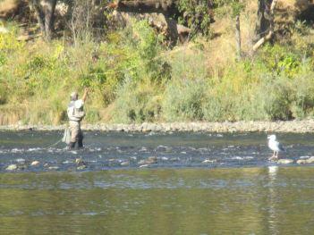 man-seagull, fishing, quiet day, American River,water, Fair Oaks, salmon