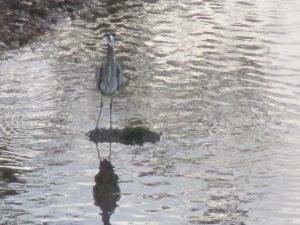 Great Blue Heron, Fair Oaks Bridge, mornings, wildlife, peaceful, waterfowl, American River