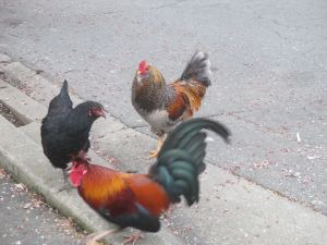 roosters, chickens, Fair Oaks, Fair Oaks Village