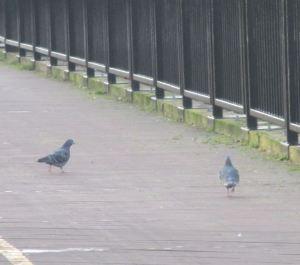 pigeons, Fair Oaks Bridge, American River, wildlife returns