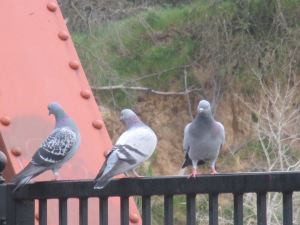 pigeons, Fair Oaks Bridge, American River