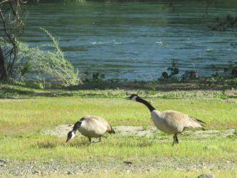 Canada geese, American River, water, wildlife, Fair Oaks Bridge, Fair Oaks,flood