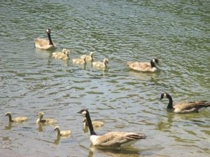 Canada Geese, goslings, swim, American River, Fair Oaks, boat launch ramp