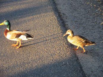 ducks, food, walk, American River Parkway, bike path
