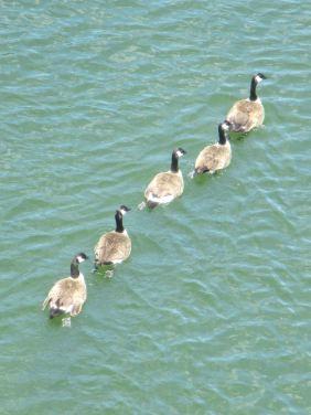Canada Geese, American River, Fair oaks, Fair Oaks Bridge, swim, swimming, float, river, morning
