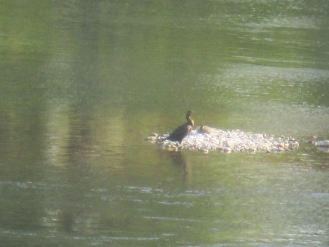 cormorant, American river, Fair Oaks Bridge, monrings, wings