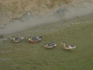 chicken, ducks, erosion, morning, Fair Oaks Bridge