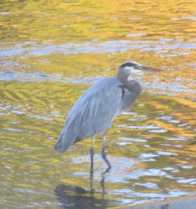 Great Blue Heron, clouds, fishermen, fishing nets, American River, Fair Oaks Bridge, morning, writing, nature, outdoors, wildlife