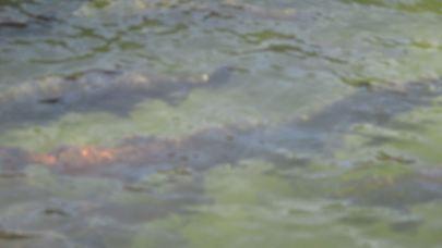 salmon at hatchery, fish ladder, American River, spawn