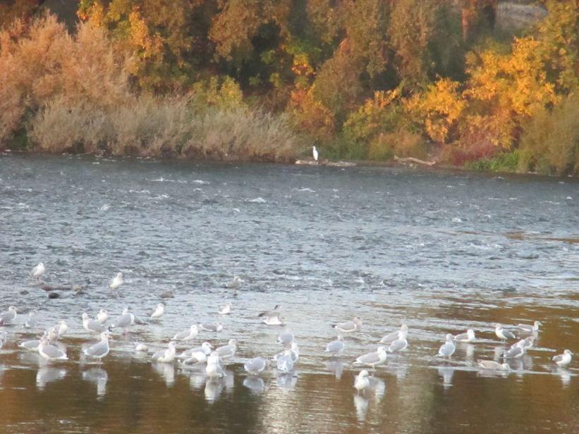 Egret, salmon, seagulls, morning, rain, visitors, Fair Oaks Bridge, Fair Oaks, American River, quiet