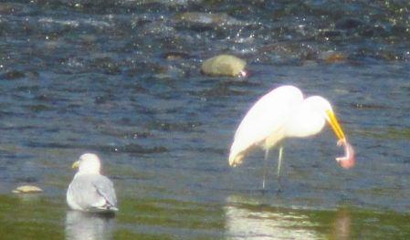Egret, salmon, Fair Oaks Bridge, feast, morning, American River