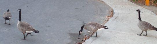Canada Geese, Great Blue Heron, mornings, Fair Oaks Bridge, American River