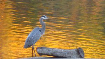 Great Blue Heron, Fair Oaks Bridge, American River
