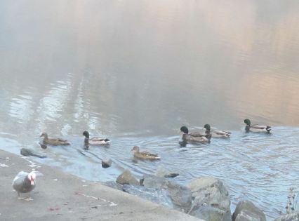 fog, mist, American River, Fair Oaks Bridge, river, Canada Geese, ducks, seagull, boat launch ramp