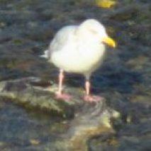 seagull, salmon, Nature Detectives, wildlife