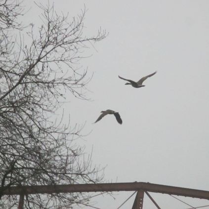 Canada Geese, mornings, Fair Oaks Bridge, writing, nature, wonder, questions
