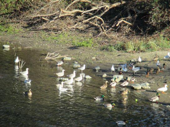 seagulls, Jims Bridge, Fair Oaks, ducks, American River
