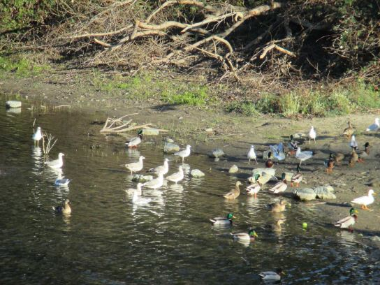 seagulls, Jims Bridge, Fair Oaks, ducks, American River